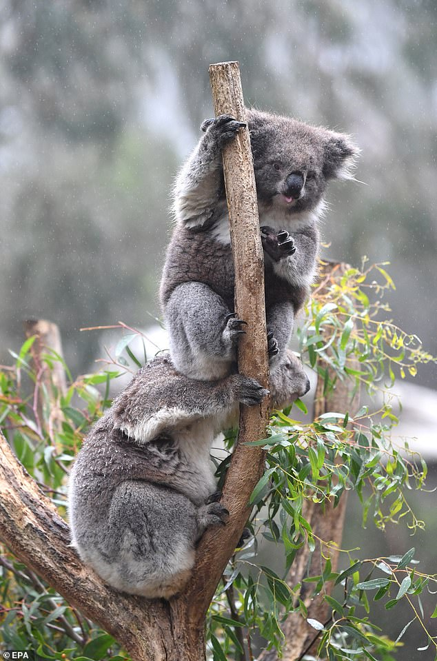 Pictured are two of the marsupials at the Koala enclosure at Cleland Wildlife Park in Adelaide