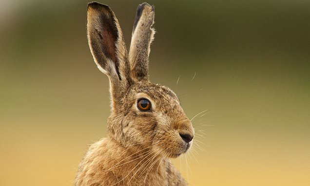 britain s hares in