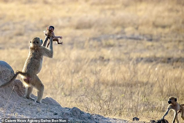 'It's the wheel of fortune': The baby baboon was held up as another looks on at the re-enactment