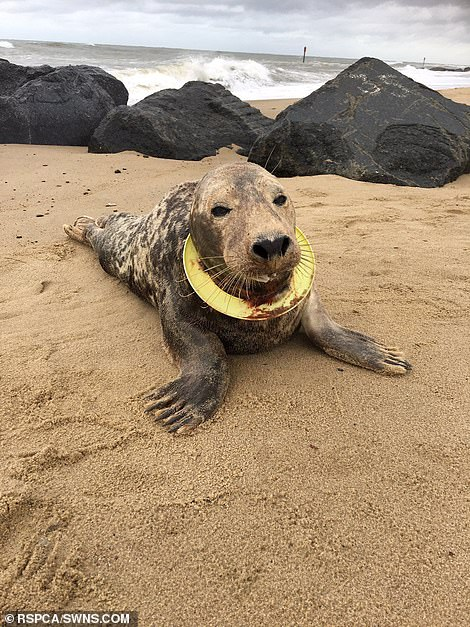 "Earlier this year, the RSPCA brought back a seal called the ""Frisbee"" after successfully recovering from life-threatening neck injuries that plunged deep into her throat"