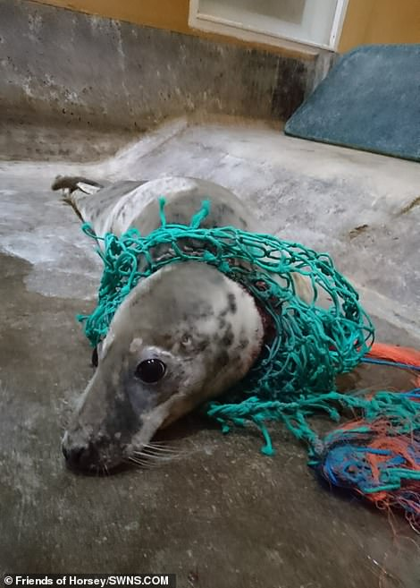 Pictured is a seal rescued on Horsey Beach caught in a plastic fishing net