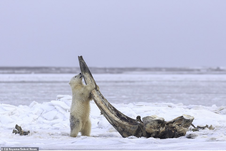 The young bear and his sibling, about six feet high on their hind legs, climb onto a fifteen-foot-long Bowhead whale that was left out by the native Alaskan Inupiat hunters.