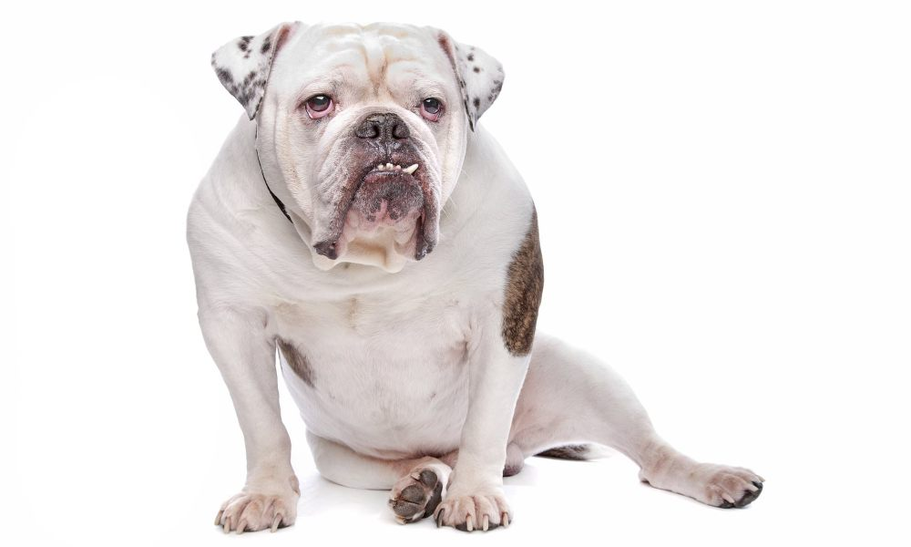 medium resolution of man whose penis and testicles were eaten by bulldog was alone in room with the animal daily mail online