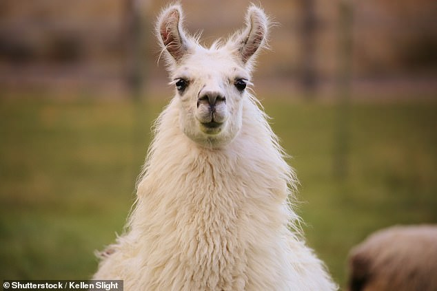 Llamas may contain the key to a long-lasting flu vaccine, research suggests (stock)