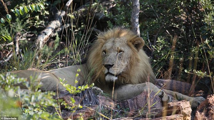 Eye to eye: Shambala has no fence, no barrier, not even a vehicle door between you and a lion's pride