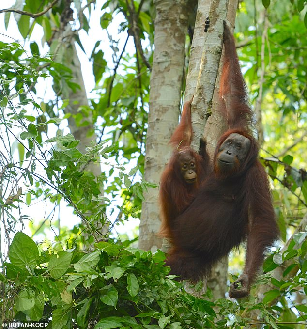 Orangutans are slowly disappearing from the rainforests and, despite claims by the Indonesian government, are nearing extinction, researchers say. Officials slammed for suggesting primates make a comeback (picture in stock)