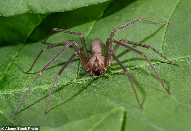 Virginia researchers investigating the brown recluse spider have achieved a breakthrough. They found out that it is not a single strand but more than 2,500 tiny ones