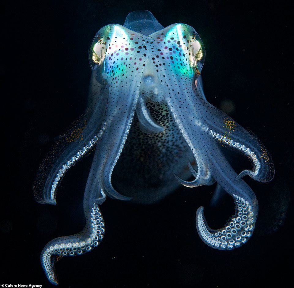 Another reef fin squid, this critter measuring only three inches long, displays the suckers on the many tentacles in a vibrant white and contrasts brilliantly with the blue hue emanating from the head of the beast