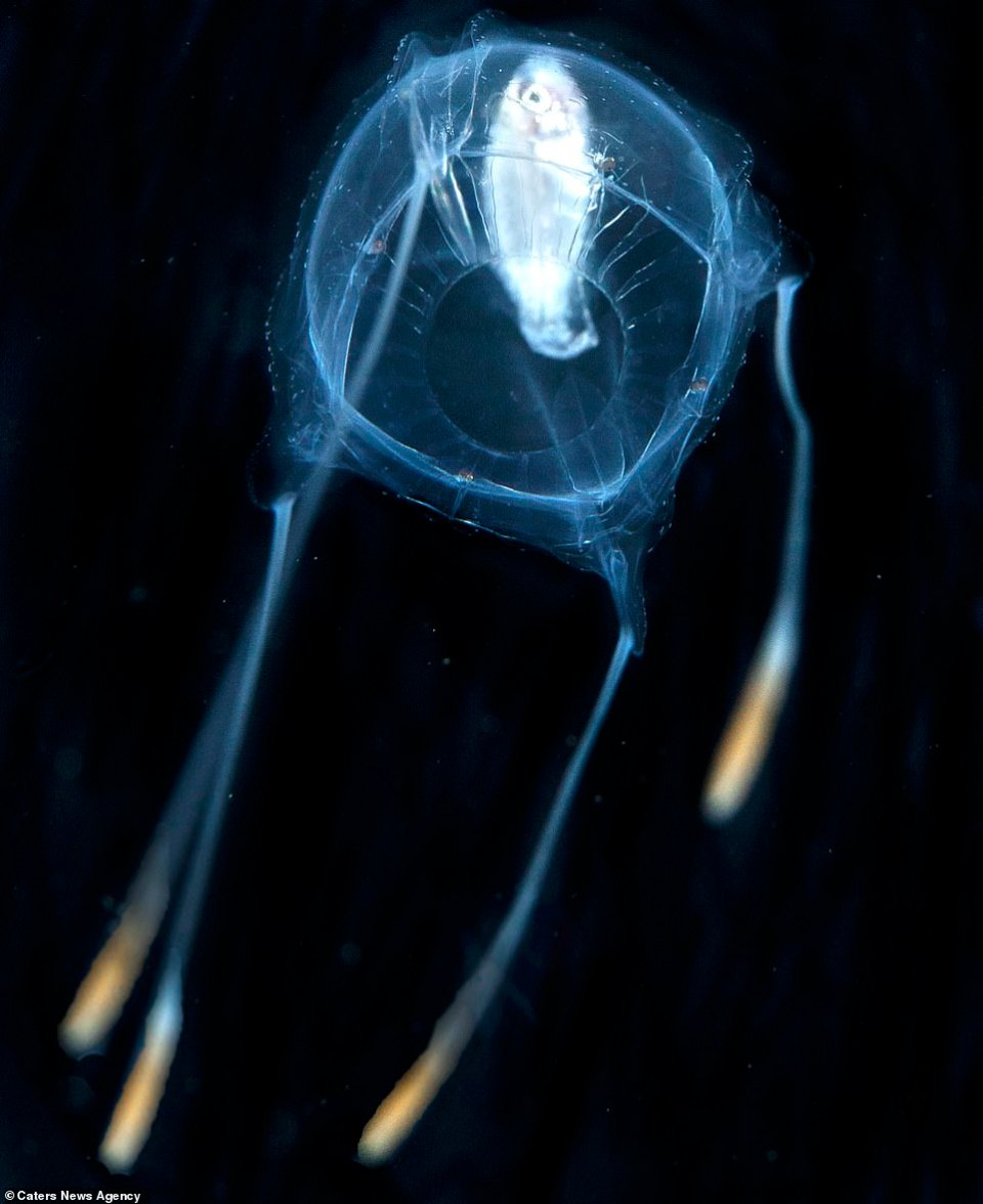 A jellyfish devouring a larval fish is captured on camera. These alien-like fish have got up closer and personal with scuba diver Jun V Lao who caught the photos on his underwater camera at night  The scuba diver claims is images showcase never before seen larval marine wildlife
