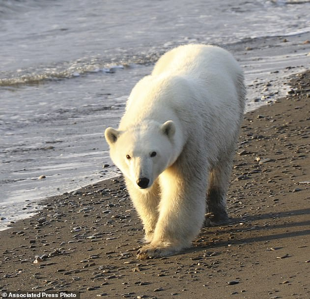 The polar bears of the world are divided into 19 subpopulations, including two in US waters. In addition to the Chukchi clumps, the United States shares the population of the southern Beaufort Sea with Canada (file photo).