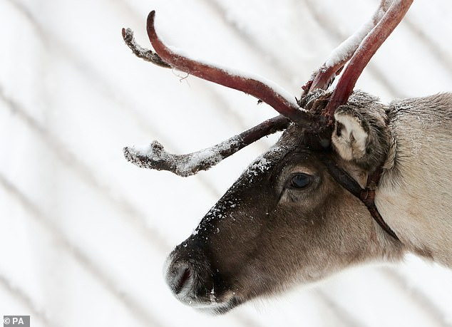 Reindeer do however have ultraviolet vision to spot lichen hidden in the snow in the arctic and spot white wolves or predators. They are able to do this because their fur absorbs UV light whereas snow reflects UV light