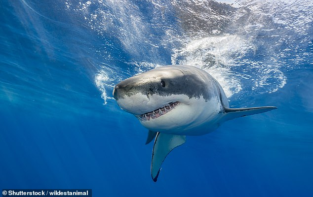 Australian scientists found sharks incubated in tanks that simulate temperatures in 2100 became 'right handed', preferring to swim to the right, a process known as lateralization