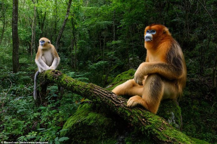 Dutch photographer Marsel van Oosten, who was highly commended in the natural world category, shot this amazing image of two monkeys in China. He said: 'The Qinling golden snub-nosed monkey is listed as Endangered by the IUCN as only some 3,800 individuals still exist. Most people have never seen these creatures'