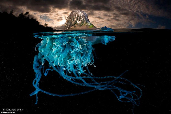 "One of Matthew Smith's many voices for the portfolio award, ""Bright & # 39; shows the blueberry blubottle jellyfish"