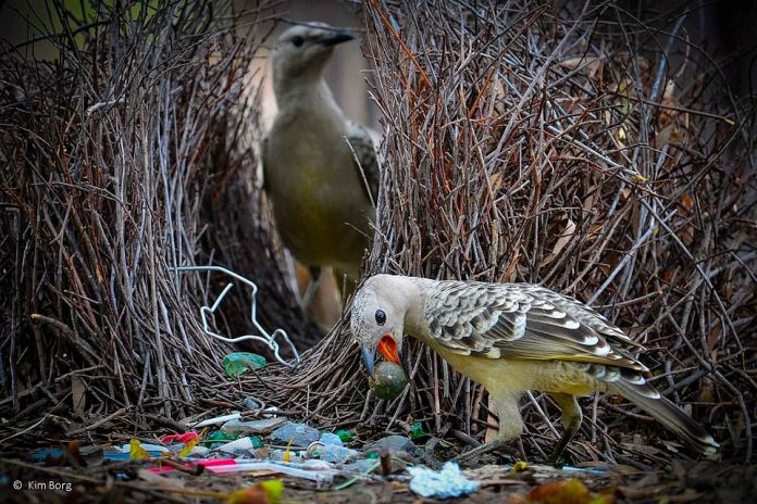 Kim Borg's photograph captured this photo of a pair of peregrine falcons scouring plastics for nesting materials