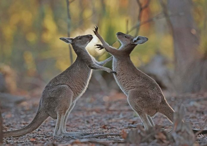The photographer Georgina Steytler says she fell in love with the kangaroos after taking this photo of two young wrecked joey