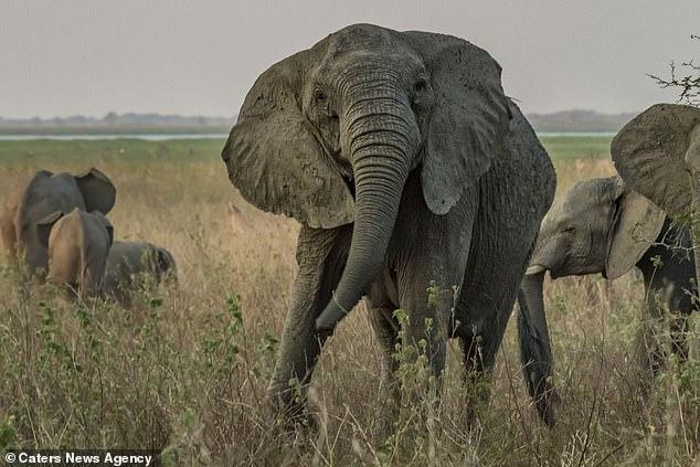 Elefanten im Gorongosa National Park wurden während des Bürgerkriegs in Mosambik auf Elfenbein abgezielt, und rund ein Drittel der abgebildeten weiblichen Tiere hat sich entwickelt, um keine Stoßzähne zu züchten