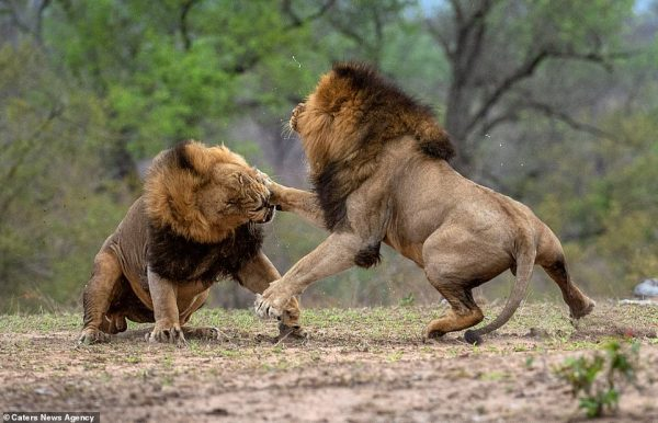 lion king battle cry # 49