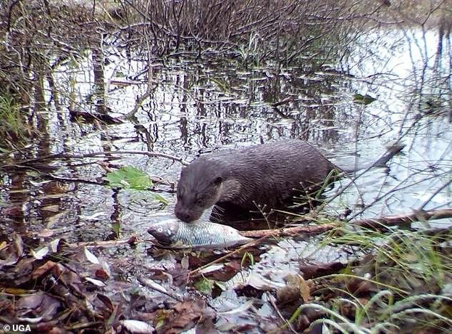 Scientists used fish carcasses to bail wildlife towards the river bed, snapping pictures. Among the wildlife spotted was eagles, minks and (pictured) river otters
