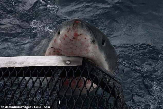 The fearsome 1360 kilogram beast baring its razor-sharp teeth as it bites the corner of their metal cage