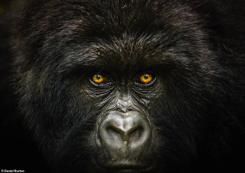 This close-up shot of a gorilla was taken by Daniel Burton on the slopes of Mount Mikeno in the Democratic Republic of Congo. He explained: 'Some of the world's last mountain gorillas live on the slopes of Mount Mikeno. This is a female from the Humba family, a habituated group that lives near Virunga's Bukima station.' This image was revealed as thegrand prize winner of National Geographic Traveller (UK)'s Photography Competition 2019 and winner of the Nature category