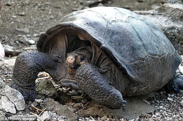 A specimen of the giant Galapagos tortoise Chelonoidis phantasticus, thought to have gone extint about a century ago, is seen at the Galapagos National Park on Santa Cruz Island in the Galapagos Archipelago (pictured)