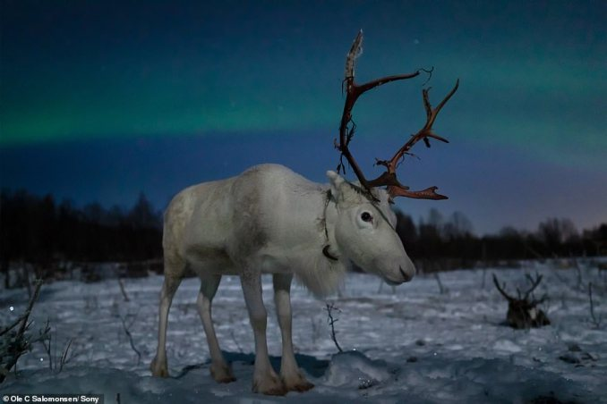 For pictures of wildlife, Salomonsen switches cameras. As an ambassador for Sony, he uses the Sony a9 as the 'unique sensor, especially in low light, helps capture wildlife even in the difficult lighting of the arctic'