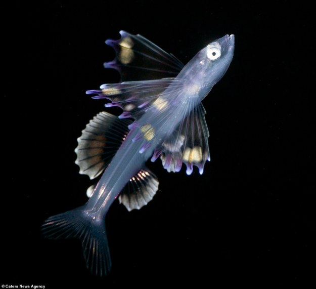 Bathypterois longipes:The abyssal spiderfish, Bathypterois longipes, is a species of deepsea tripod fish, a demersal fish living on the bottom of the Atlantic Ocean. They are widely scattered throughout the Pacific.