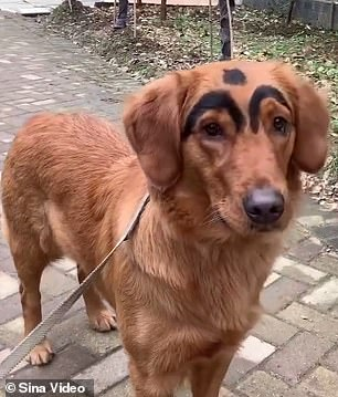 Video footage shows two large, thick strokes of jet black dye on the Golden Retriever's forehead, close to its eyes