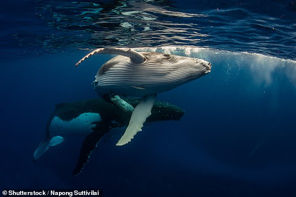 Humpback whales live in oceans around the world. They travel incredible distances every year and have one of the longest migrations of any mammal on the planet