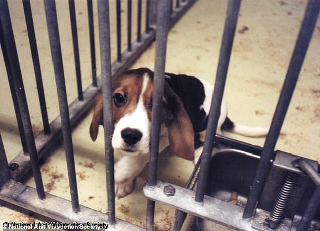 The Mail on Sunday has learned that Ron James used to work at animal testing centre Huntingdon Life Sciences where he published four scientific papers based on experiments on beagles. He has been forced to step down after the news was revealed. A beagle is pictured in a drug laboratory