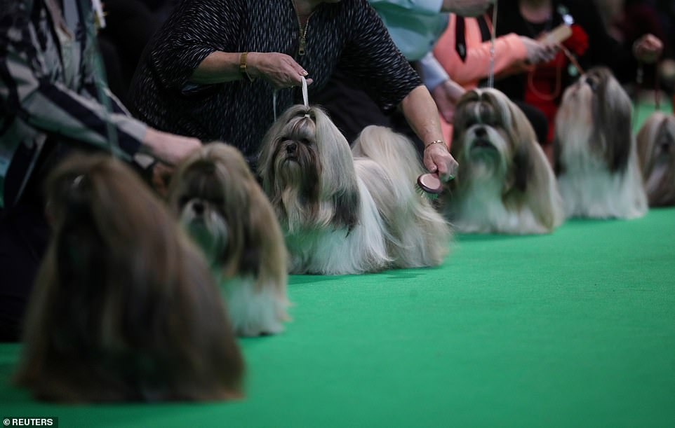 Doggy catwalk: Owners line up their pets for a last-minute grooming session