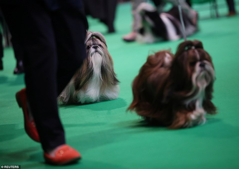 Finally it's show time!Shih Tzus flock the arena of Birmingham'sNational Exhibition Centre (NEC)
