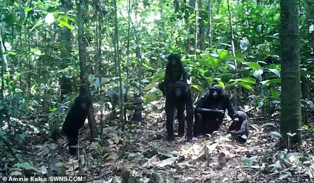 The research team wanted to see has any effect on their behaviour and if there were any differences among the three great apes.Younger apes would explore the camera traps more by staring at them for longer periods of time, they said