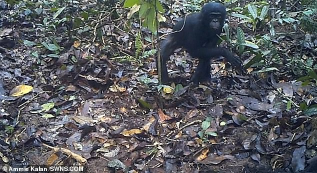 Doctor Ammie Kala, a primatologist at the Max Planck Institute for Evolutionary Anthropology said the goal was to see if the presence of research equipment had any effect on their behaviour. She said that they also wanted to see has any effect on their behaviour