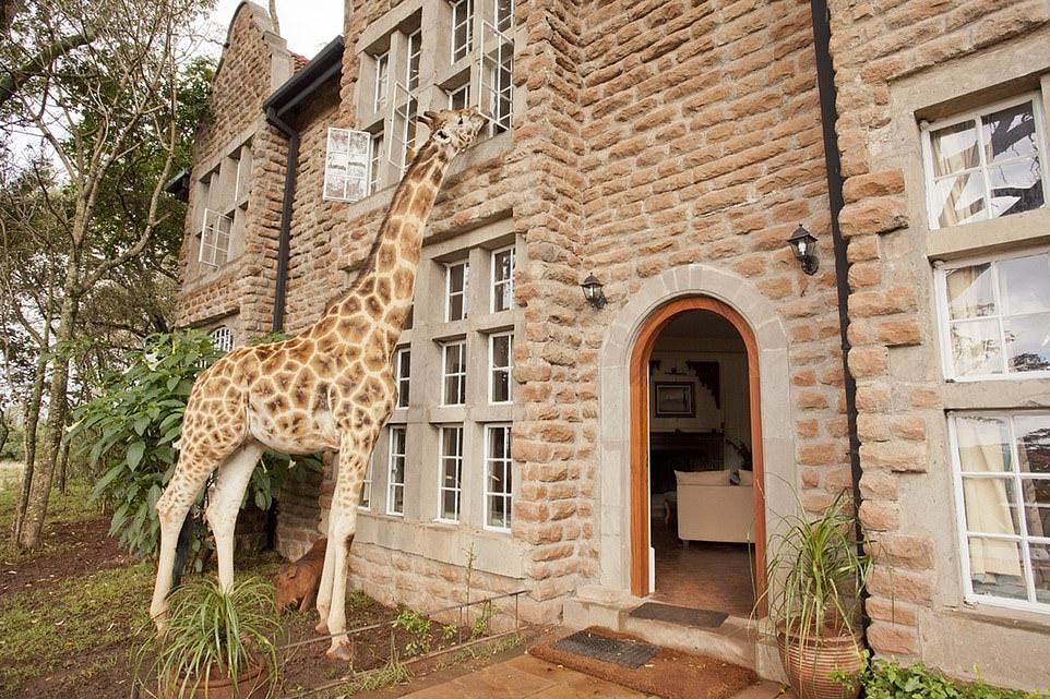 Some neck: Feeding time at Giraffe Manor outside Nairobi, Kenya
