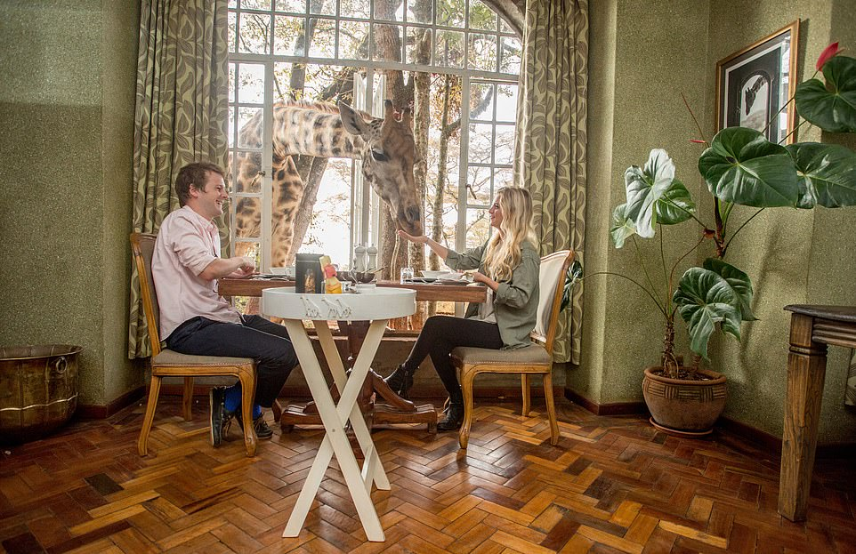 Visitors to the Giraffe Manor, near Nairobi, Kenya have a bite to eat with the other residents who eat specially prepared pellets