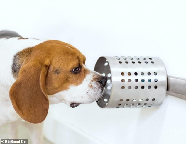 Scientists taught three Beagles how to sniff out lung cancer in blood samples from human patients (pictured, one of the beagles)