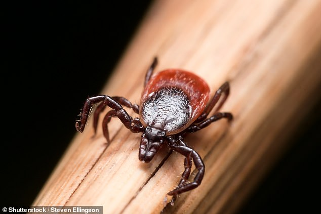 The Hyalomma rufipes tick - a small blood-sucking arachnid - is usually confined to Africa, Asia and parts of southern Europe (stock)