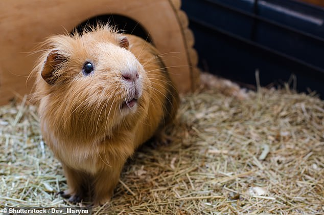 People who suffer traumatic brain injuries may recover quicker by stroking guinea pigs (stock)