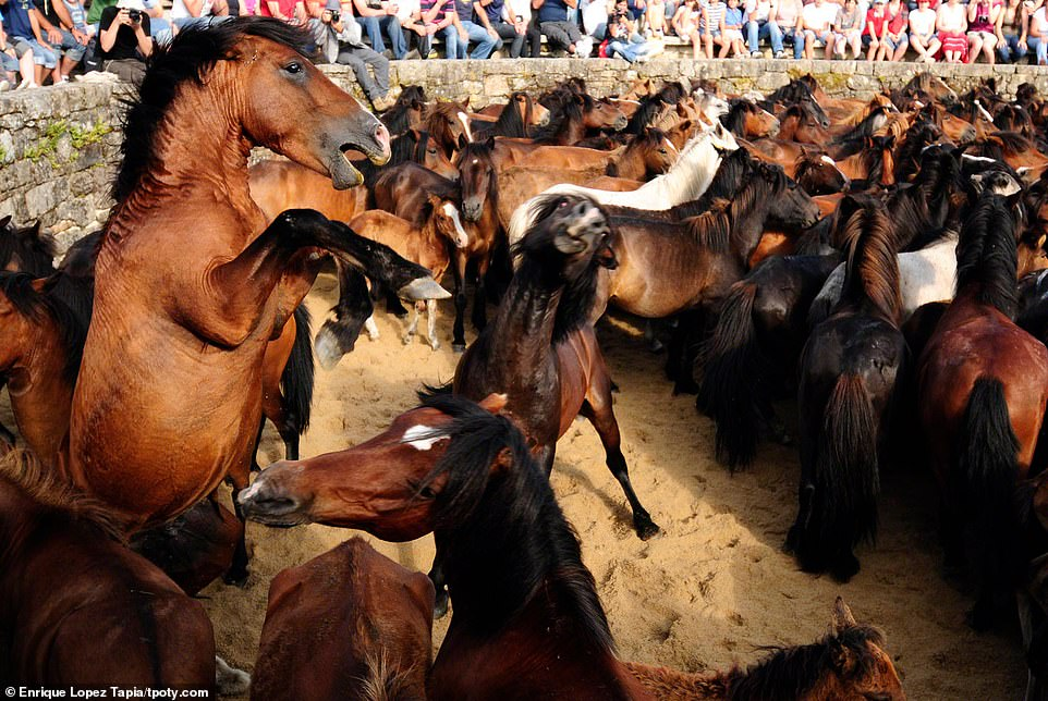 A scene from the Rapa das Bestas festival in Galicia, Spain, where the manes of wild horses are cut in front of spectators