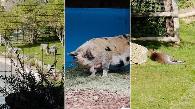 The test, which can be done at home in minutes, shows users a fast succession of pictures and requires them to indicate whether or not the image had an animal in it. In the sample pictured, the image on the left has no animal, while the other two have a pig and a marsupial in