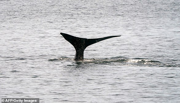 A North Atlantic right whale, seen swimming the waters of Massachusetts' Cape Cod Bay on April 14, 2019.Only around 450 members of the species are believed to survive