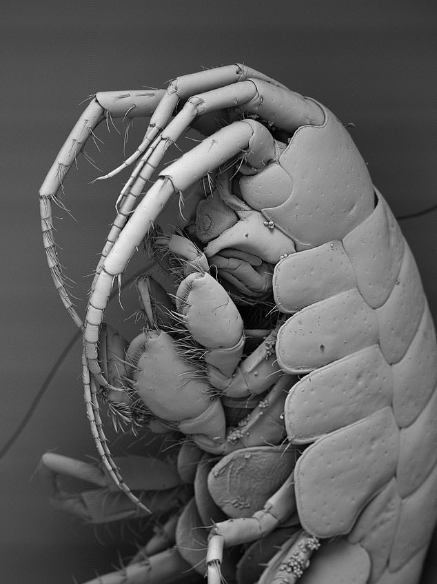 Dr Walsh and her Environment Agency colleagues hope that environmental DNA will help the organisation monitor the presence of invasive species (such as the Demon Shrimp, pictured)
