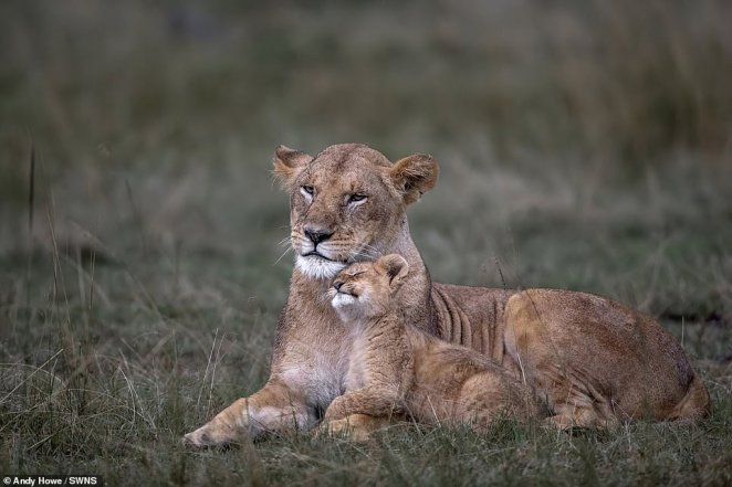 Andy Howe's photo of a baby lion and its mother in Kenya was among hundreds of entries in the competition