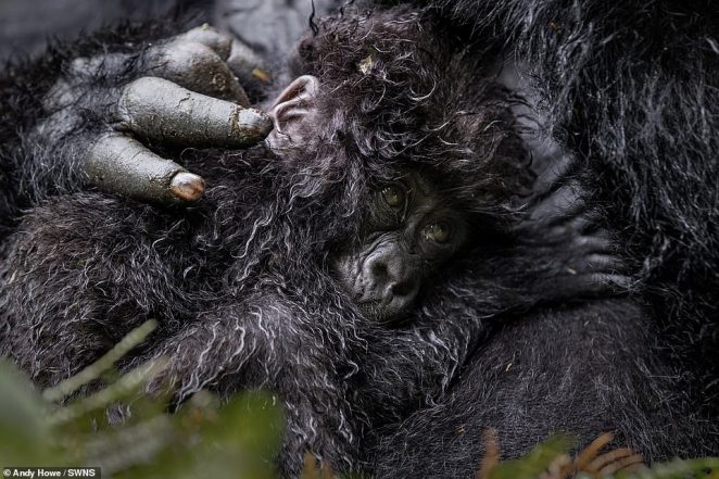 Andy Howe'spicture of a six-month-old gorilla baby snuggling up to its mother in Rwanda came third in the competition
