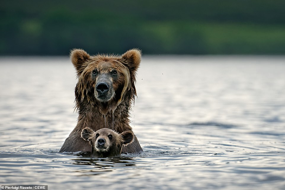 A grizzly bear stays close to her cub in Kamchatka, Russia, in this shot by Pierluigi Rizzato.The Kamchatka brown bear is one of the largest of all brown bear subspecies