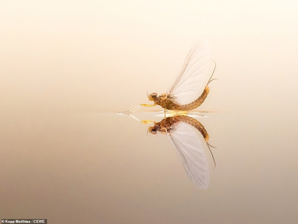 Kopp Matthias landed the perfect shot of a mayfly on a still pond.Mayflies are aquatic insects and there are more than 3,000 species around the world. This shot was deemed a monthly winner for April