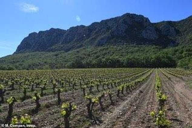 Experts at the University of York used similar DNA methods that trace human ancestors to look at archaeological seeds used in wine production. This image shows a vineyard by Pic Saint-Loup Mountain in southern France