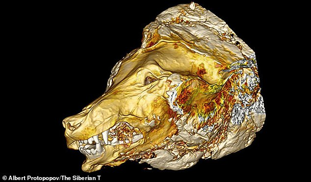 In detail: A CT scan of the wolf's head shows exactly how much of it was preserved in the freezing temperatures of Siberia, where it lay for thousands of centuries